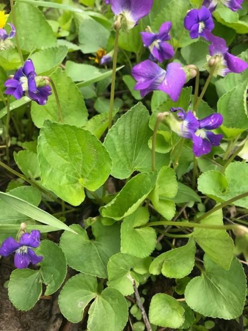 violet 1